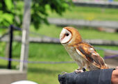 Tethered Barn Owl — Stock Photo