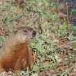 Stock Photo: Groundhog (Marmota monax)