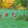 Whitetail Deer Doe With Fawns — Stok fotoğraf