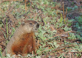 Groundhog (Marmota monax) — Stock Photo