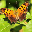 Gray Comma Butterfly - Stock Photo