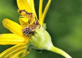 Ambush Bug — Stock Photo