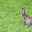 Cottontail Rabbit — Stock Photo #3574198