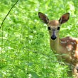 Whitetail Deer Fawn — Stock Photo #3587551