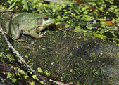 Bullfrog — Photo