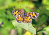 Pearl Crescent Butterfly — Stock Photo
