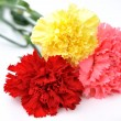 Carnations — Stock Photo #2750724