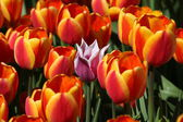 One pink tulip among the red tulips — Stock Photo