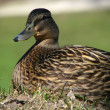 Duck portrait — Stock Photo