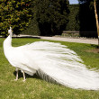 Stock Photo: White peacock in garden