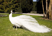 White peacock in the garden — Stock Photo