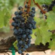 Wine grapes — Stock Photo #2732733
