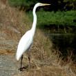 Great egret — Stock Photo #2784459