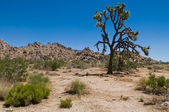 Joshua Tree — Stockfoto