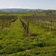 Vineyard — Stock Photo #3840053