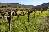 Vineyard flowers — Stock Photo