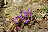 PULSATILLA VULGARIS/ PASQUE FLOWER — Stock Photo