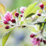 Цветущая яблоня — Стоковое фото