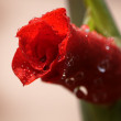 Red flower 3 — Stock Photo