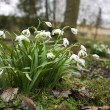 Wild snowdrops in a wood — Stock Photo
