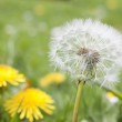 Dandelion in a field — Stock Photo #3059314