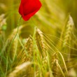 Red poppy in a barley field - Stock Photo