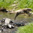 Marmot jumping over a river - Stock Photo