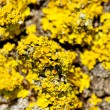 Stock Photo: Yellow lichen.