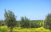 Olives tree . — Stock Photo