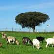 Stock Photo: Goats are out grazing.