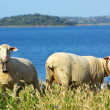 Stock Photo: Sheep graze together to river.