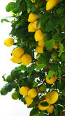 Lemons on lemon tree. — Stock Photo