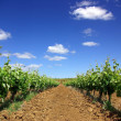 Grapevines in the spring — Stockfoto