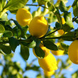 Lemon tree. - Stock Photo