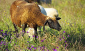Sheep graze together to the river. — Stock Photo