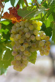 Green grapes on vine in Portugal. — Stock Photo