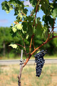 Black grapes on vine in Portugal. — Stock Photo