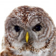 Barred owl portrait — Stock Photo