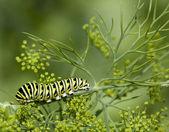 Black swallowtail caterpillar — Stock Photo