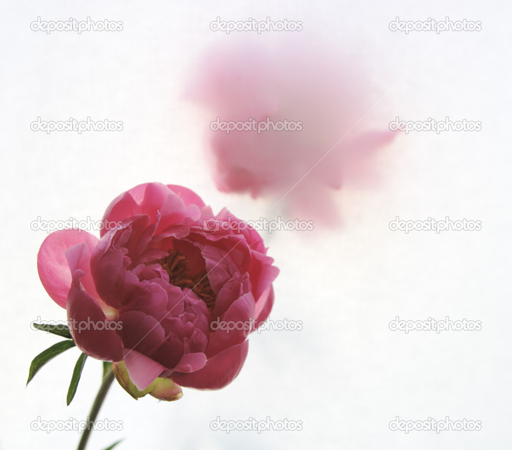 Two peonies with one behind a translucent screen  Stock Photo #2769591