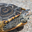 Diamondback Terrapin — Stock Photo