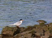 Forsters Tern — Stock Photo