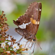 Stock Photo: Silver-Spotted Skipper Butterfly