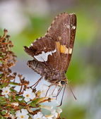 Silver-Spotted Skipper Butterfly — Stock Photo