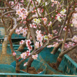 Grafted Cherry Blossom — Stock Photo