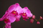 Pink orchid with buds — Stock Photo