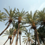 Palm trees in desert — Stock Photo