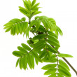 Spring  leaves of rowan tree — Stock Photo