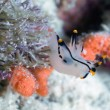 Nudibranch mollusc — Stock Photo