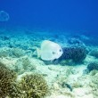 Batfish in tropical Underwater scene - Stock Photo